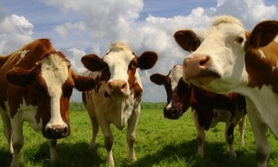 Thirty cows have been stolen in the Keady area of county Armagh