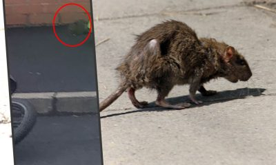 Street-rat