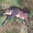Dead animal Carrigatuke